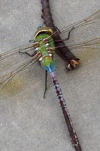 dragonfly_placeholder